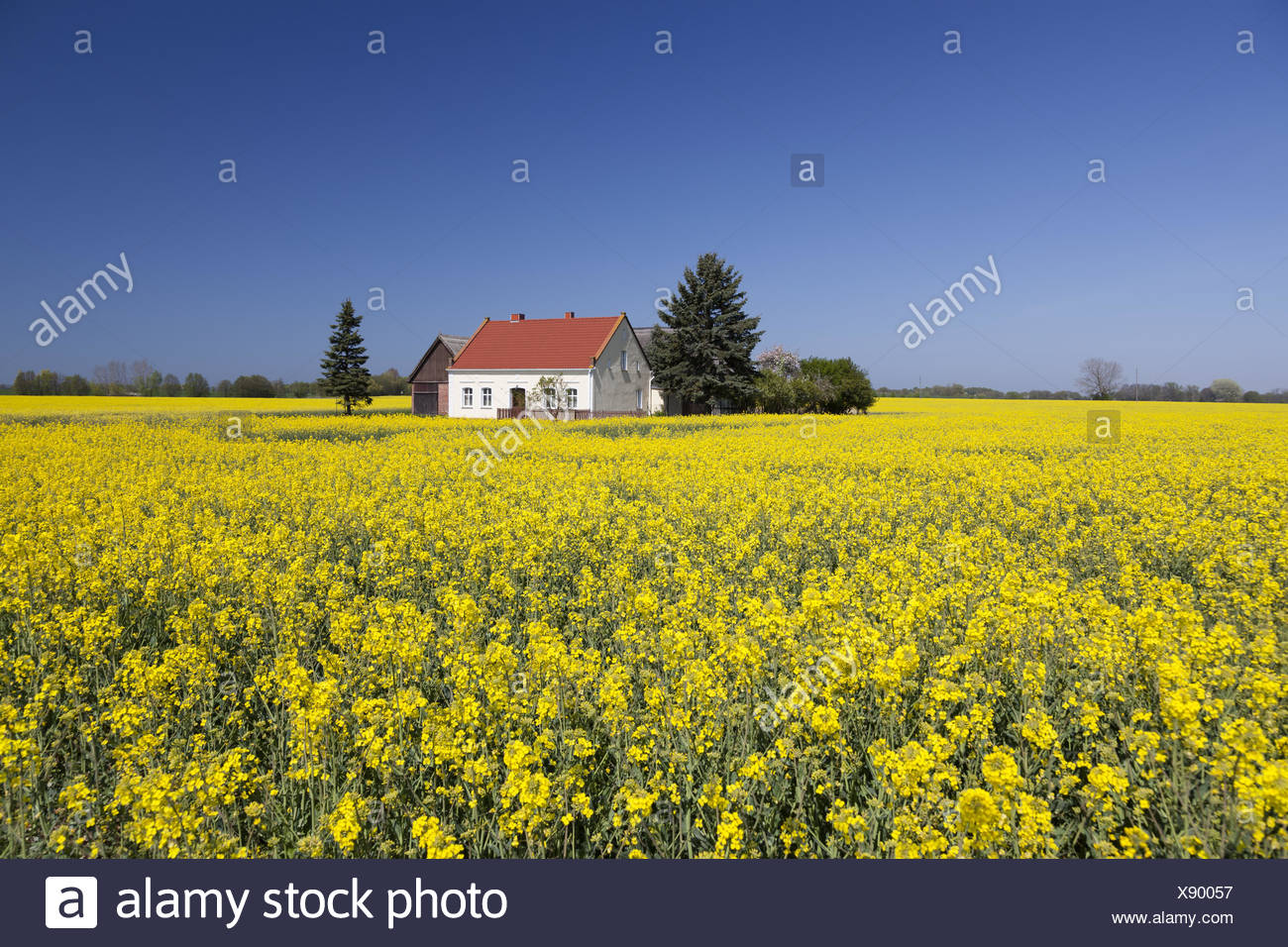 farmhouse in the field of rapeseed Stock Photo