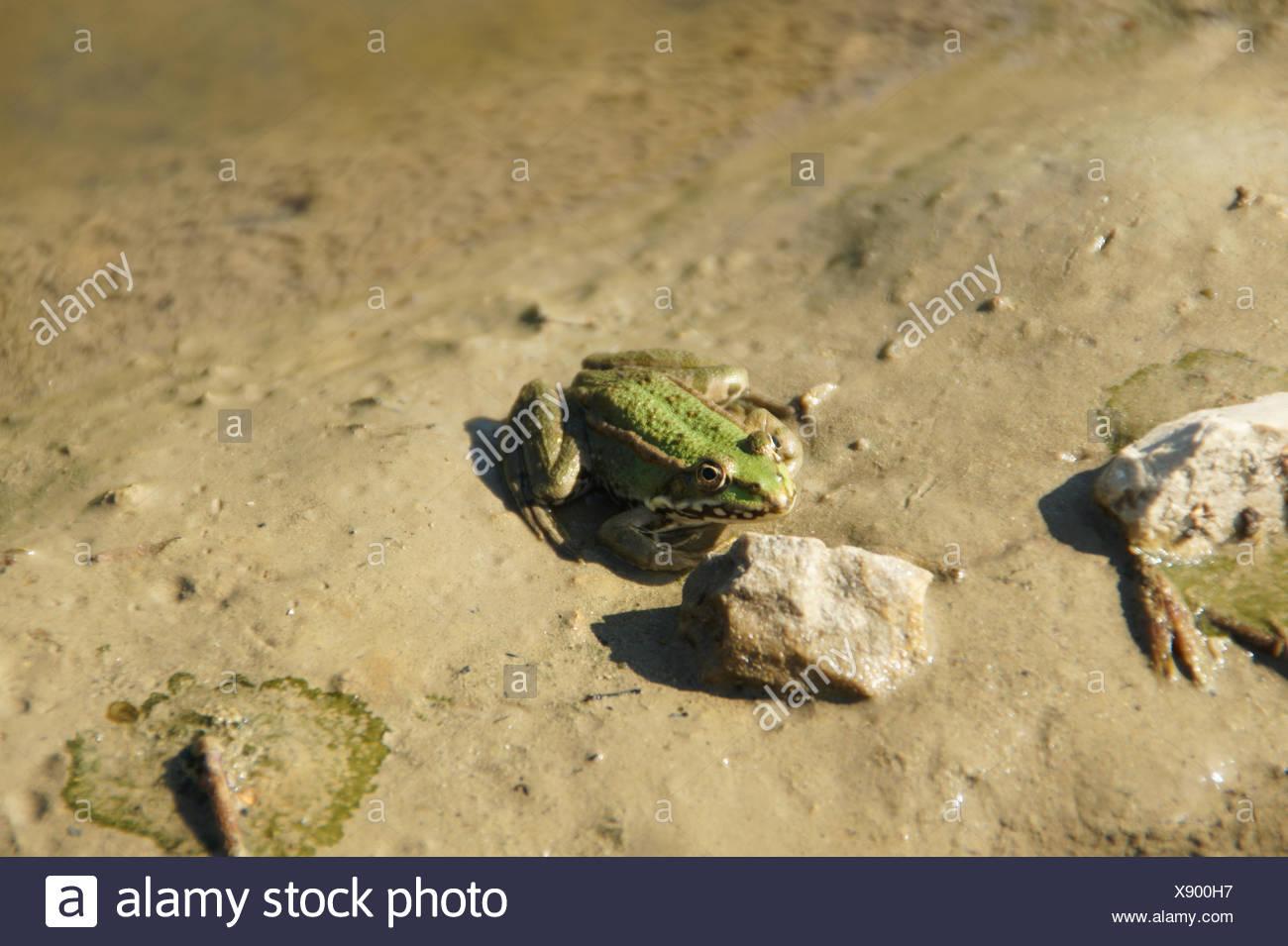 Rana esculenta, Frog - Stock Image