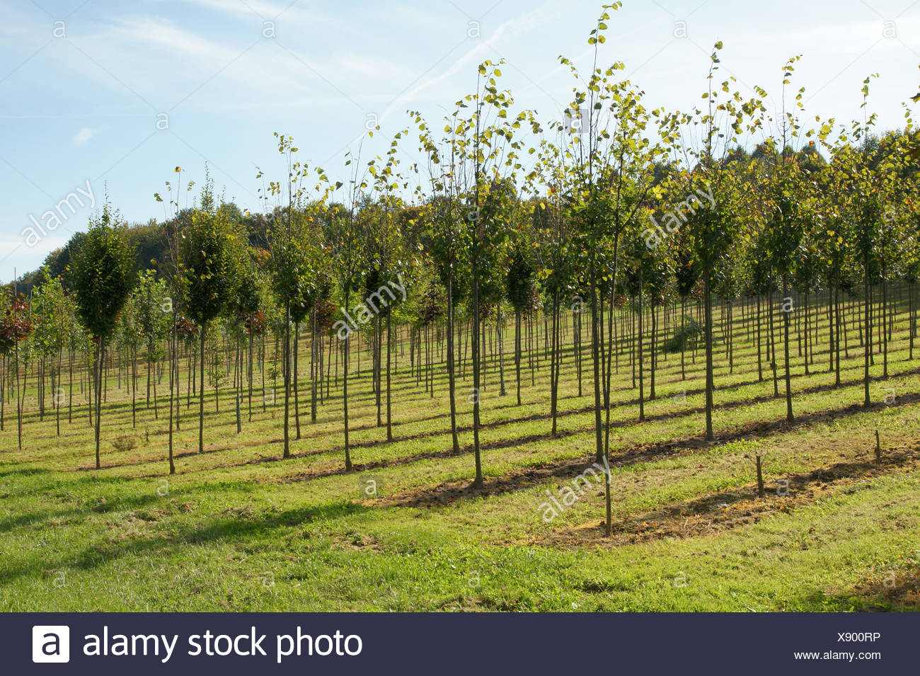 Limes in a tree nursery Stock Photo