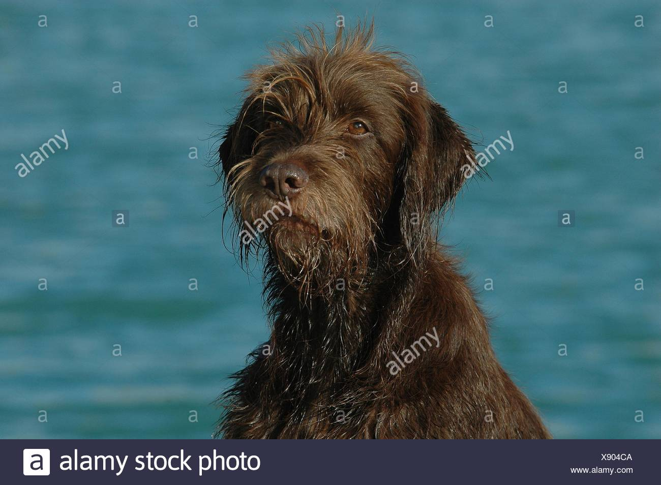 German Wire Haired Pointing Dog Stock Photos & German Wire Haired ...