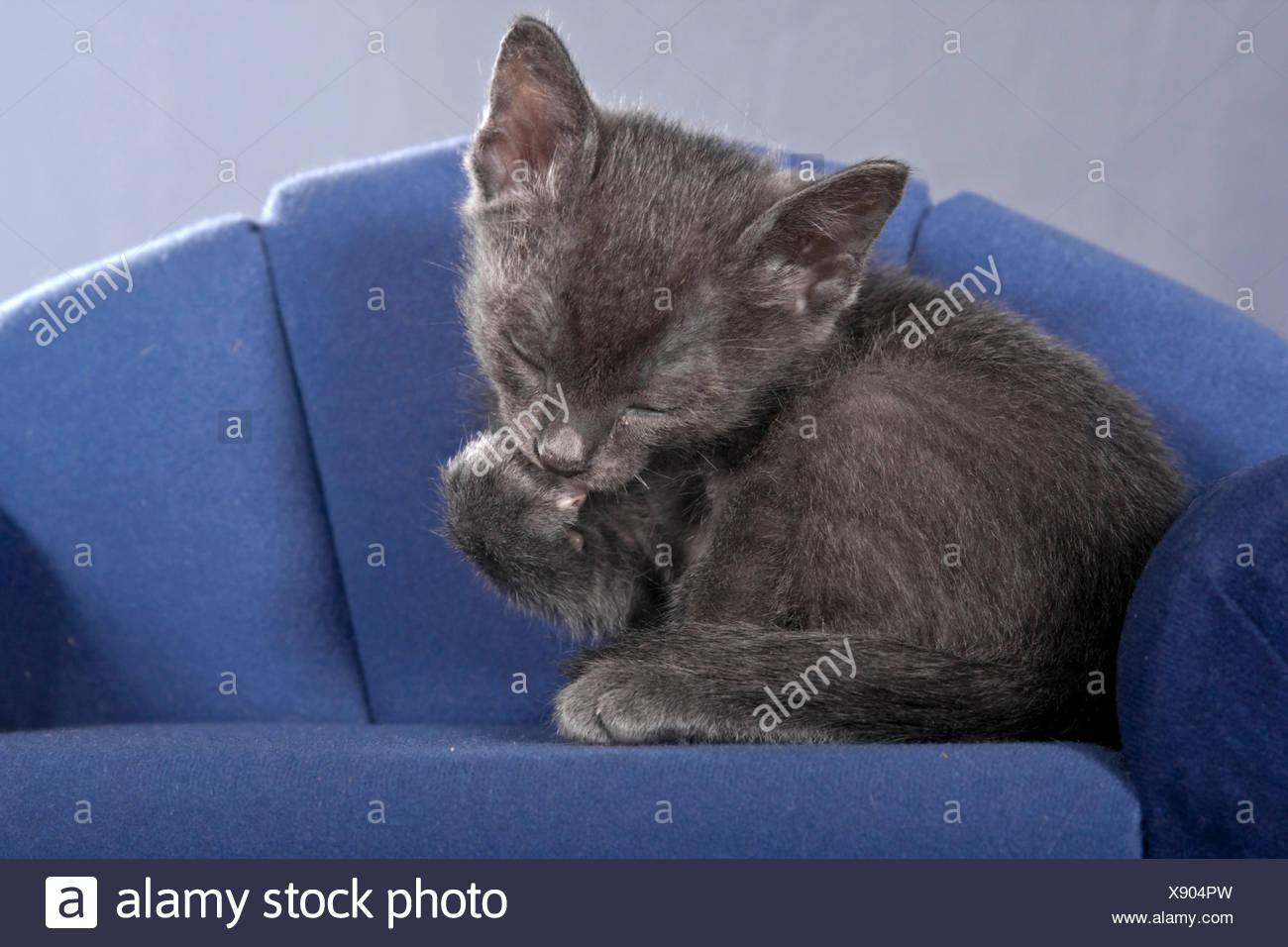 Korat kitten on a sofa sitting, grooming Stock Photo