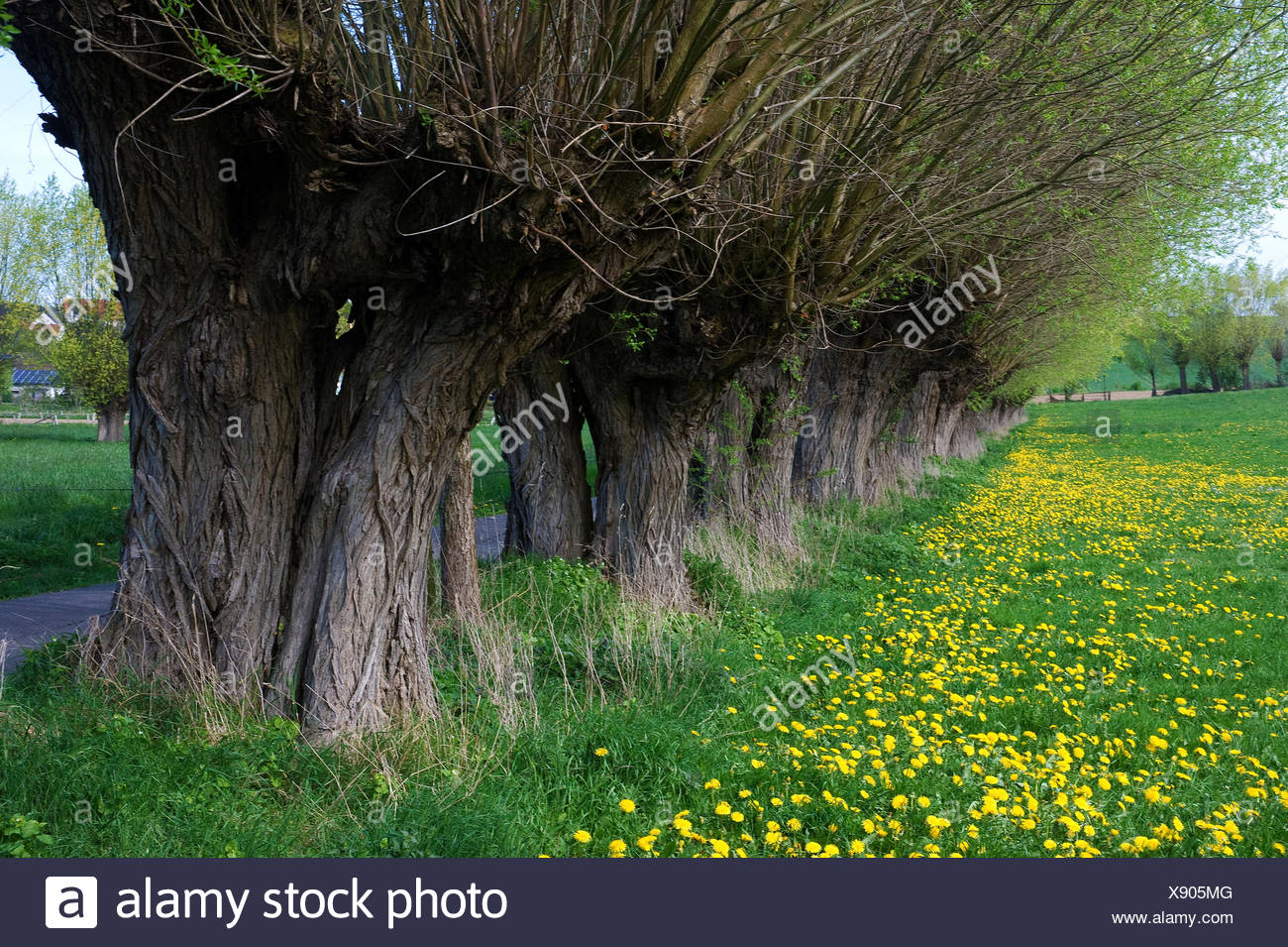 Pollard Willow Trees, near Paderborn, North Rhine-Westphalia, Germany - Stock Image