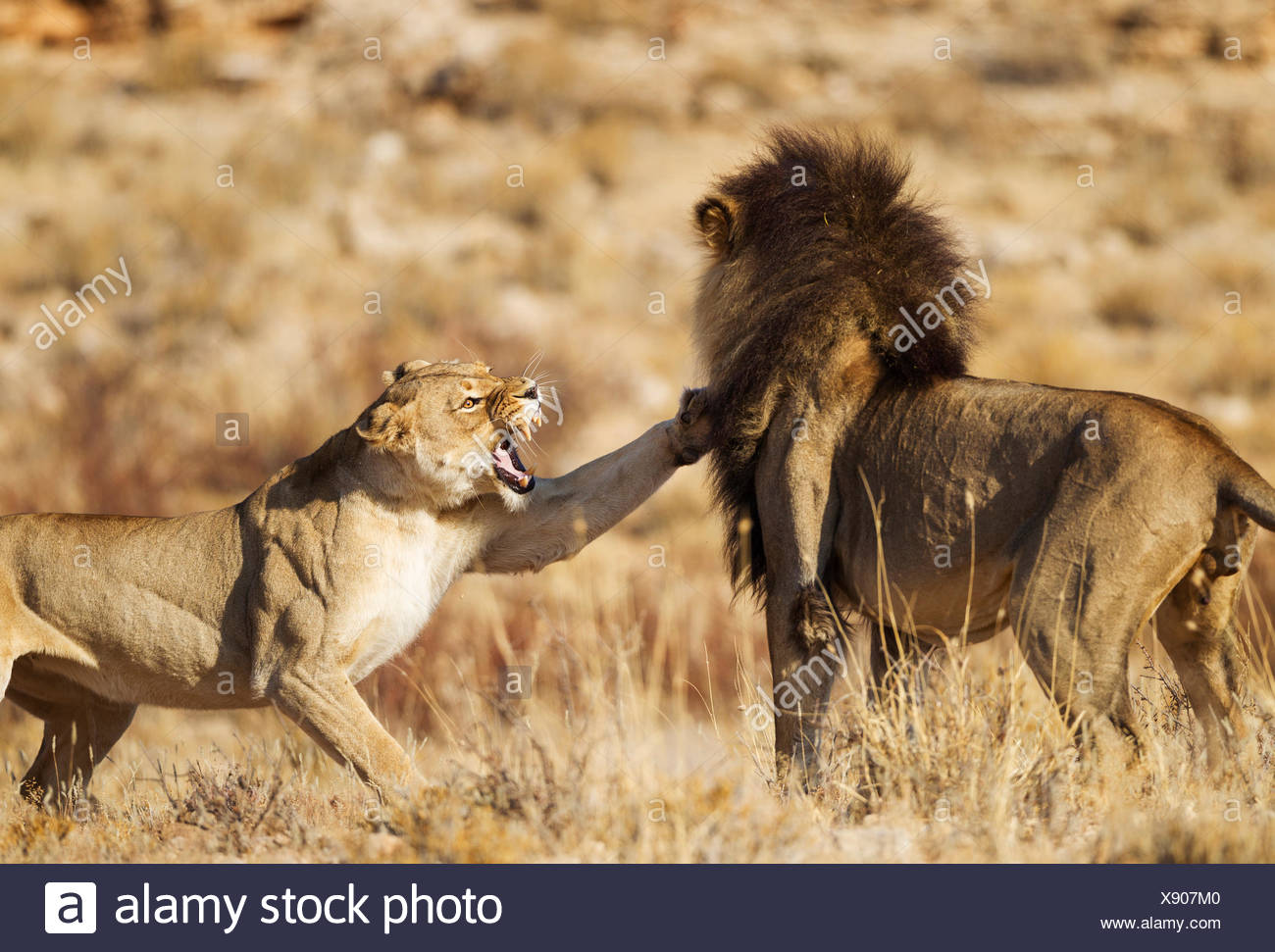 Lion (Panthera leo).  Female in heat and male at their first encounter. The initial aggressive behaviour of the female is typical. Kalahari Desert, Kgalagadi Transfrontier Park, South Africa.. Kalahari Desert, Kgalagadi Transfrontier Park, South Africa. - Stock Image