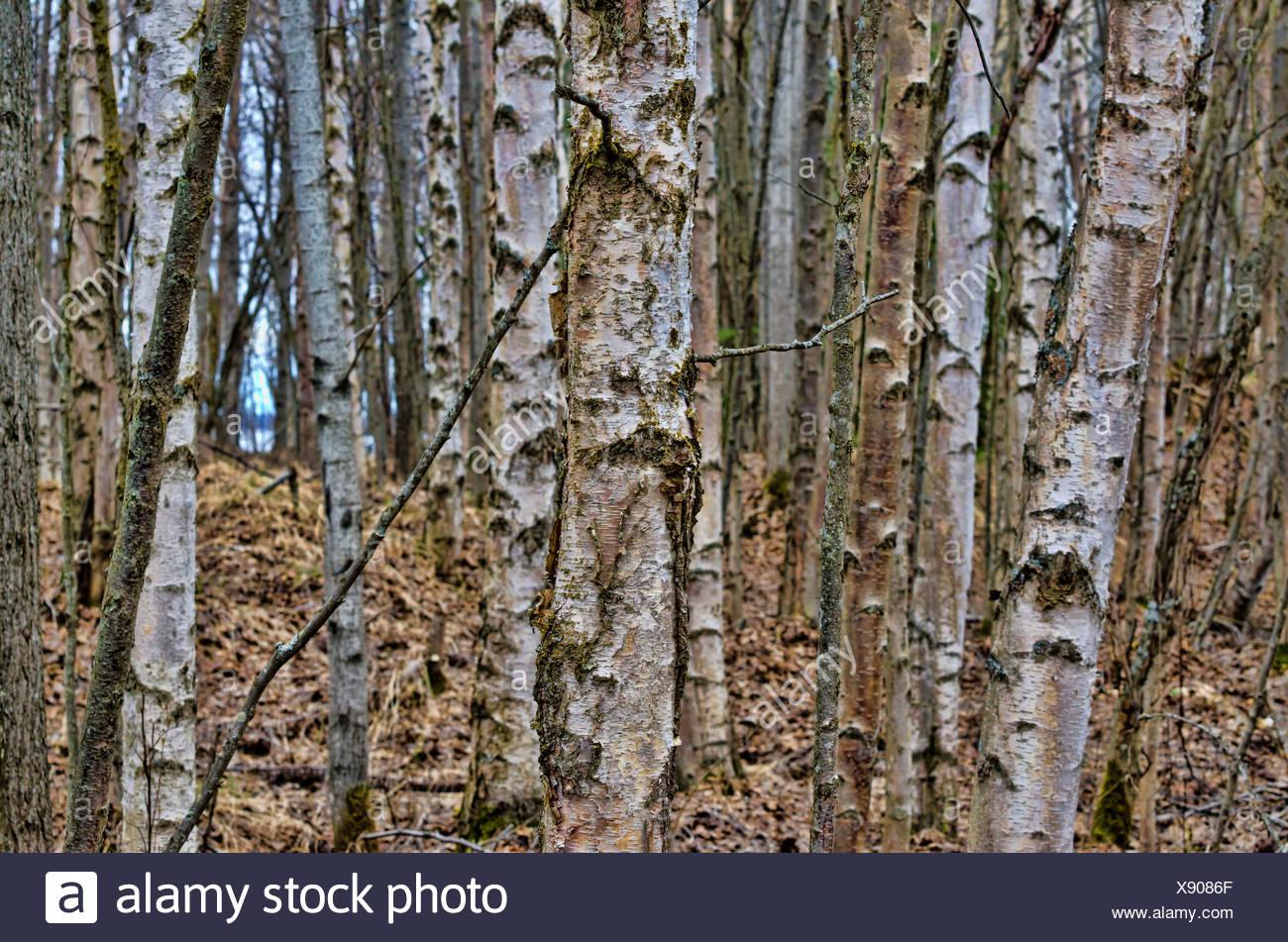 birch trees, Yukon, Canada, forest, autumn, nature - Stock Image