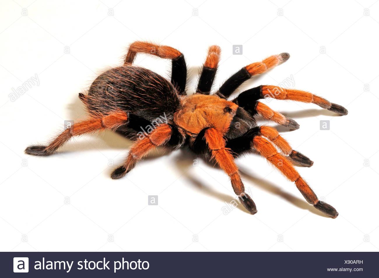 Mexican Blood Leg, Mexican Bloodleg Tarantula (Aphonopelma bicoloratum  ), bicoloured bird, Mexico - Stock Image