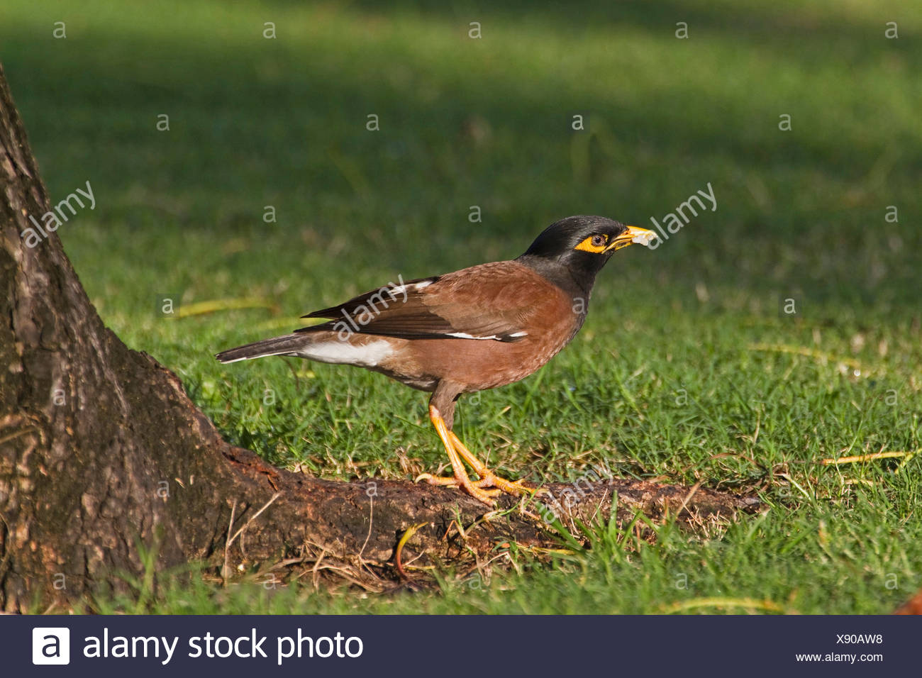 common mynah (Acridotheres tristis), in a park, Australia, Queensland, Townsville - Stock Image