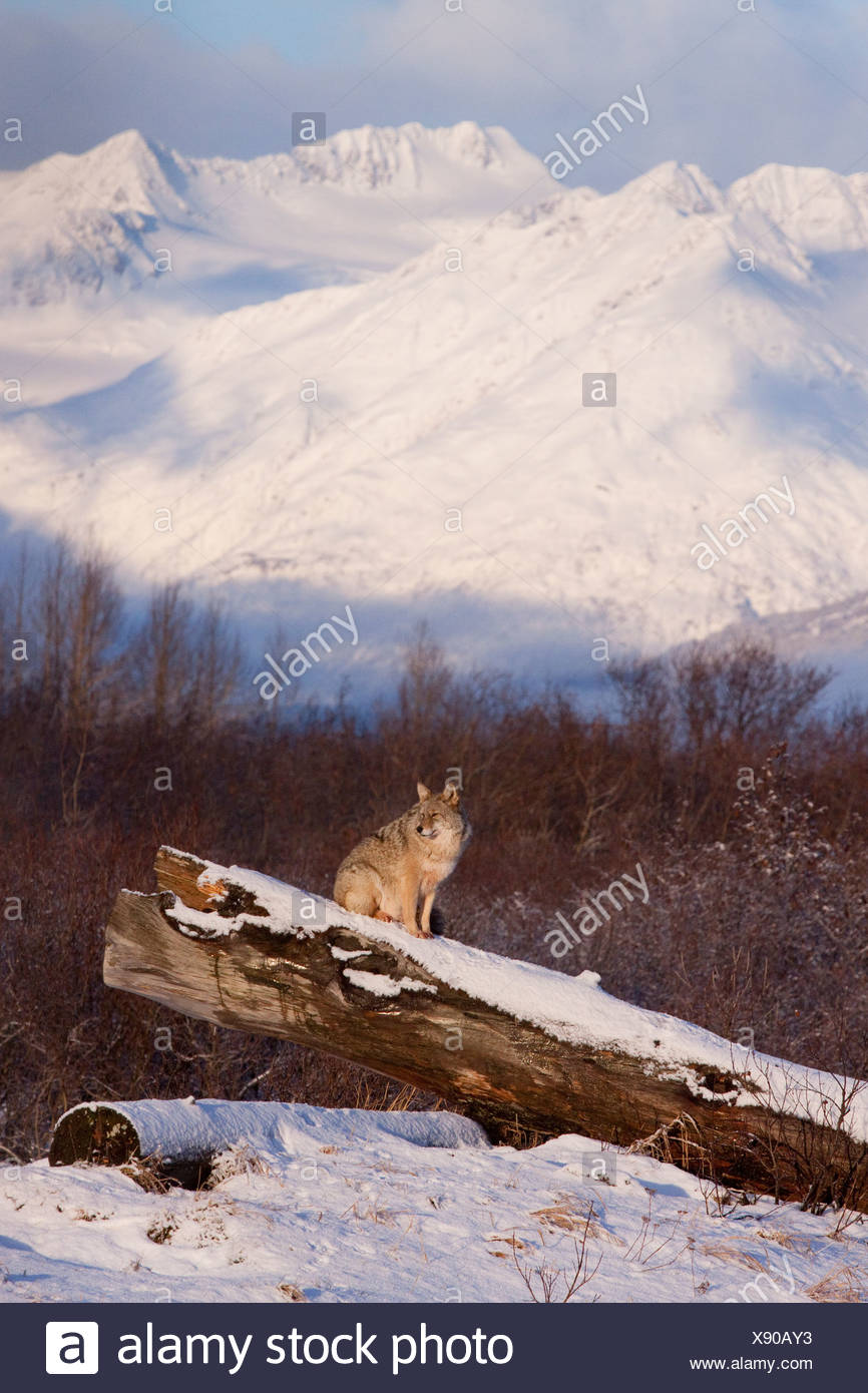 CAPTIVE: Coyote stands on a snow covered log scenic snowcovered mountains in the background, Alaska - Stock Image