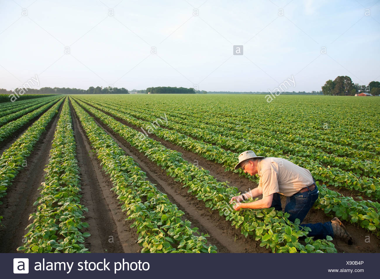 Agriculture - A crop consultant inspects an early growth crop of twin row soybeans, with two rows per bed / Arkansas, USA. - Stock Image