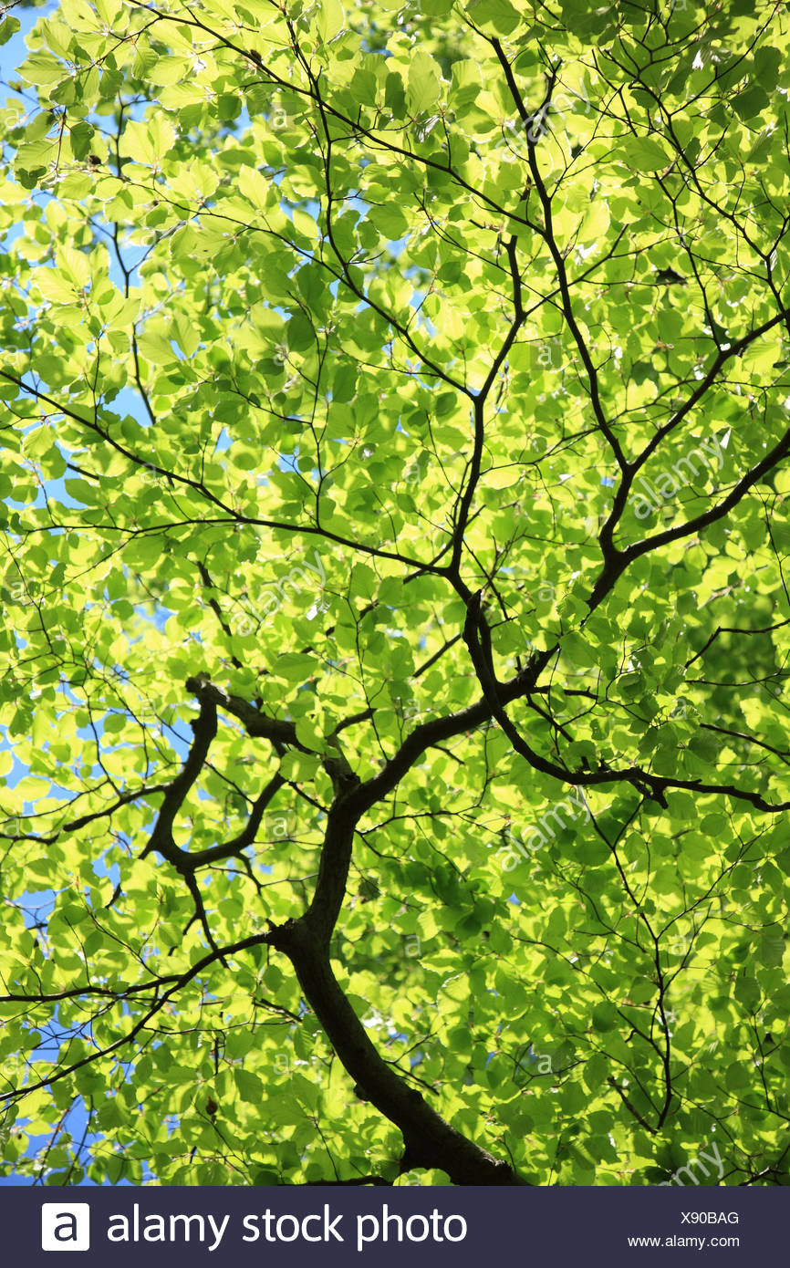Hornbeam, Carpinus betulus, detail, from below, plant, tree, broad-leaved tree, twigs, branches, leaves, green, perspective, growth, height, nature, - Stock Image