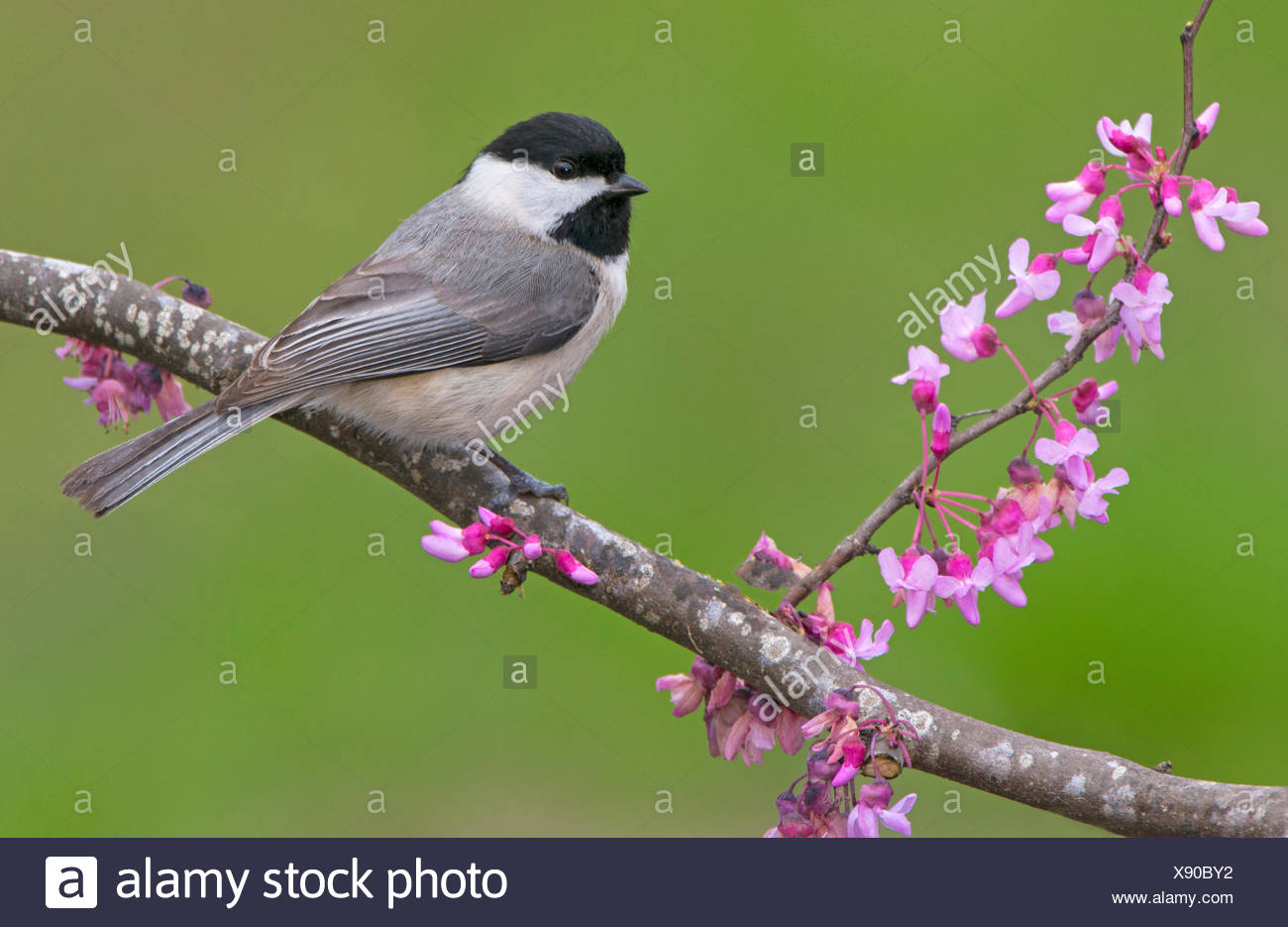 Carolina Chickadee, Poecile carolinensis, Houston Texas - Stock Image