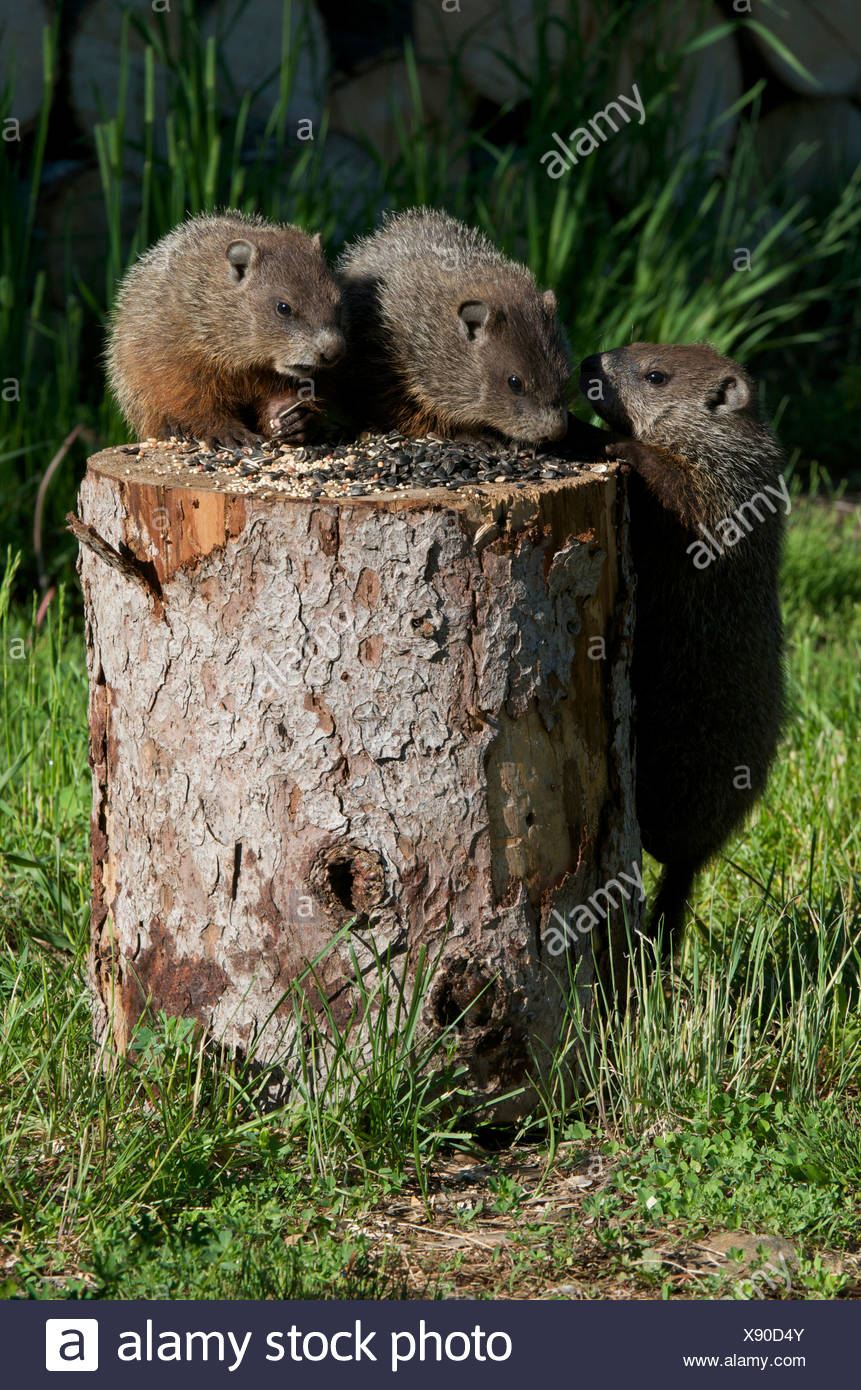 Young woodchuck (Marmota monax) eating bird seed and vying for position, Canada. - Stock Image