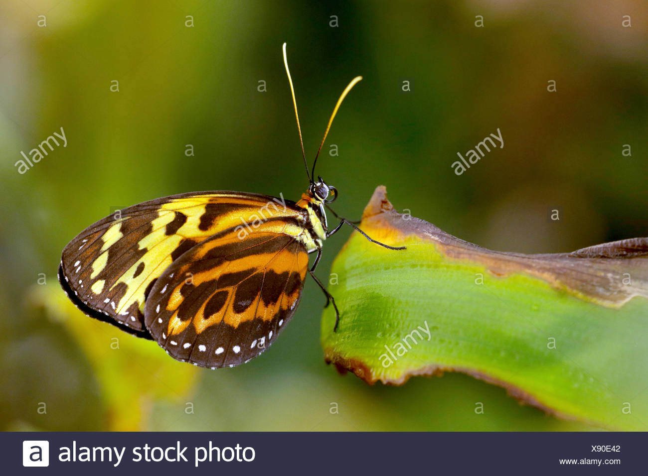 Harmonia Tiger-wing, Harmonia Tiger (Tithorea harmonia), on a leaf - Stock Image
