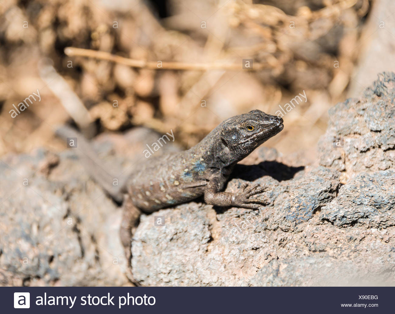 Tenerife Lizard (Gallotia galloti) basking on a rock, endemic to the Canaries, Tenerife, Canary Islands, Spain - Stock Image