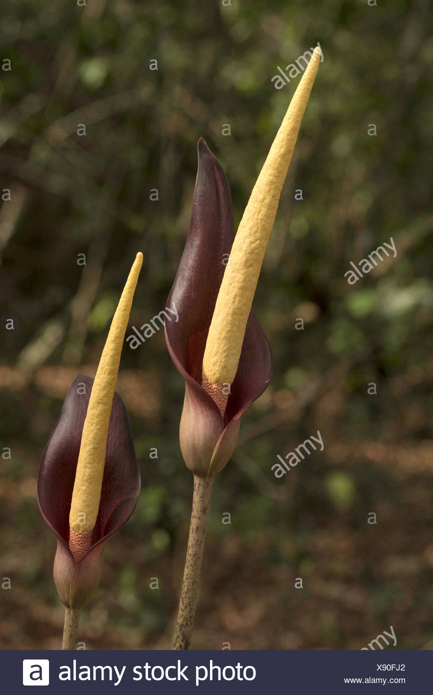 Spadix, Arum sp , Goa, INDIA. Spadix is a type of inflorescence commonly found in Family Araceae of monocots. The flowers exhibit an array of beautifu - Stock Image