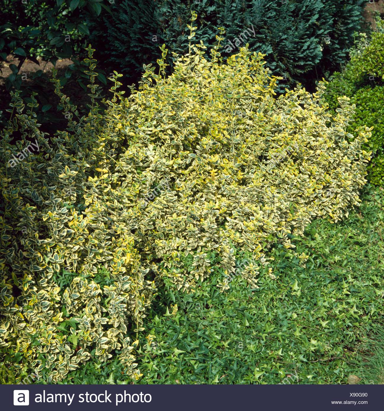 Ground Cover - of Euonymus fortunei `Emerald `n' Gold' and Hedera   GDC049634     Photos Horticultur - Stock Image
