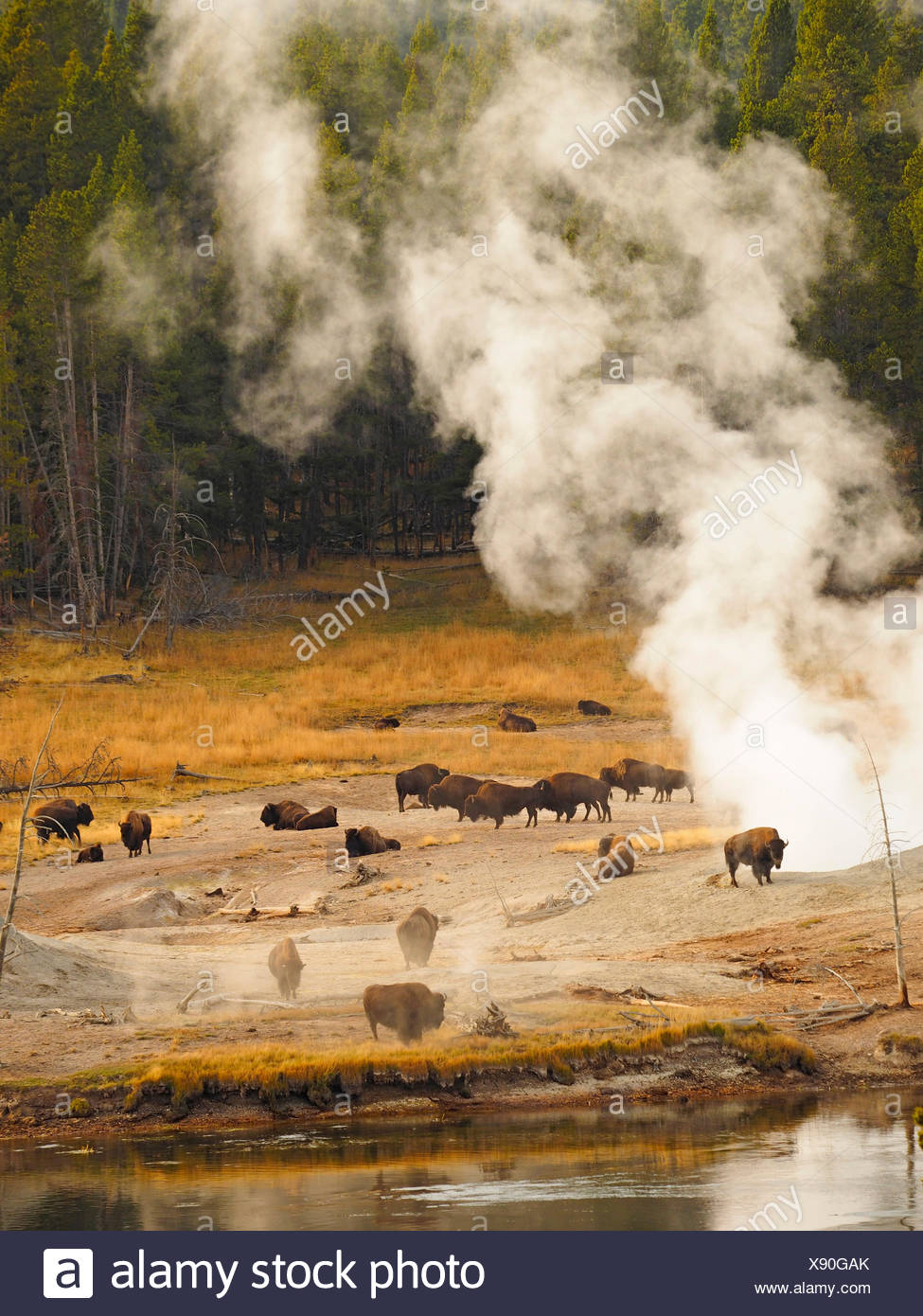 American bison, buffalo (Bison bison), herd of buffalos in front of hot springs, USA, Wyoming, Yellowstone National Park, West Thumb Geysir Basin - Stock Image