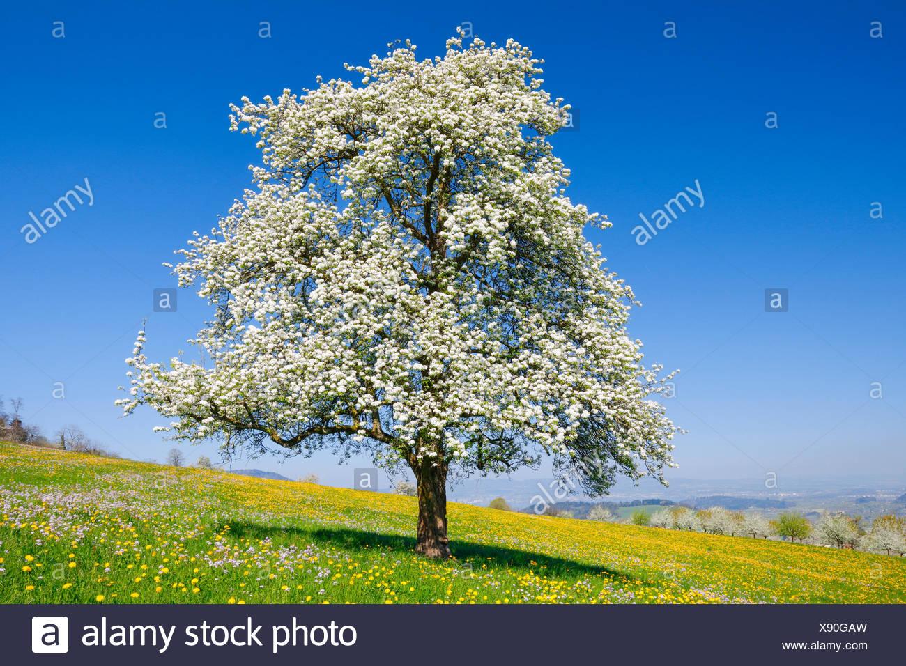 Blühender Birnbaum im Frühling, Schweiz - Stock Image
