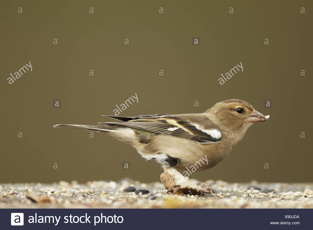 Chaffinch (Fringilla coelebs) adult female, with legs covered in scales caused by Knemidocoptes mites, feeding at birdtable, - Stock Image
