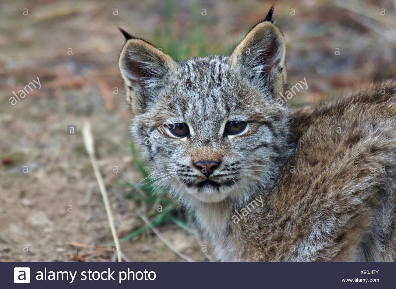 Canada, Yukon, Baby Canada Lynx (Lynx Canadensis Stock ...