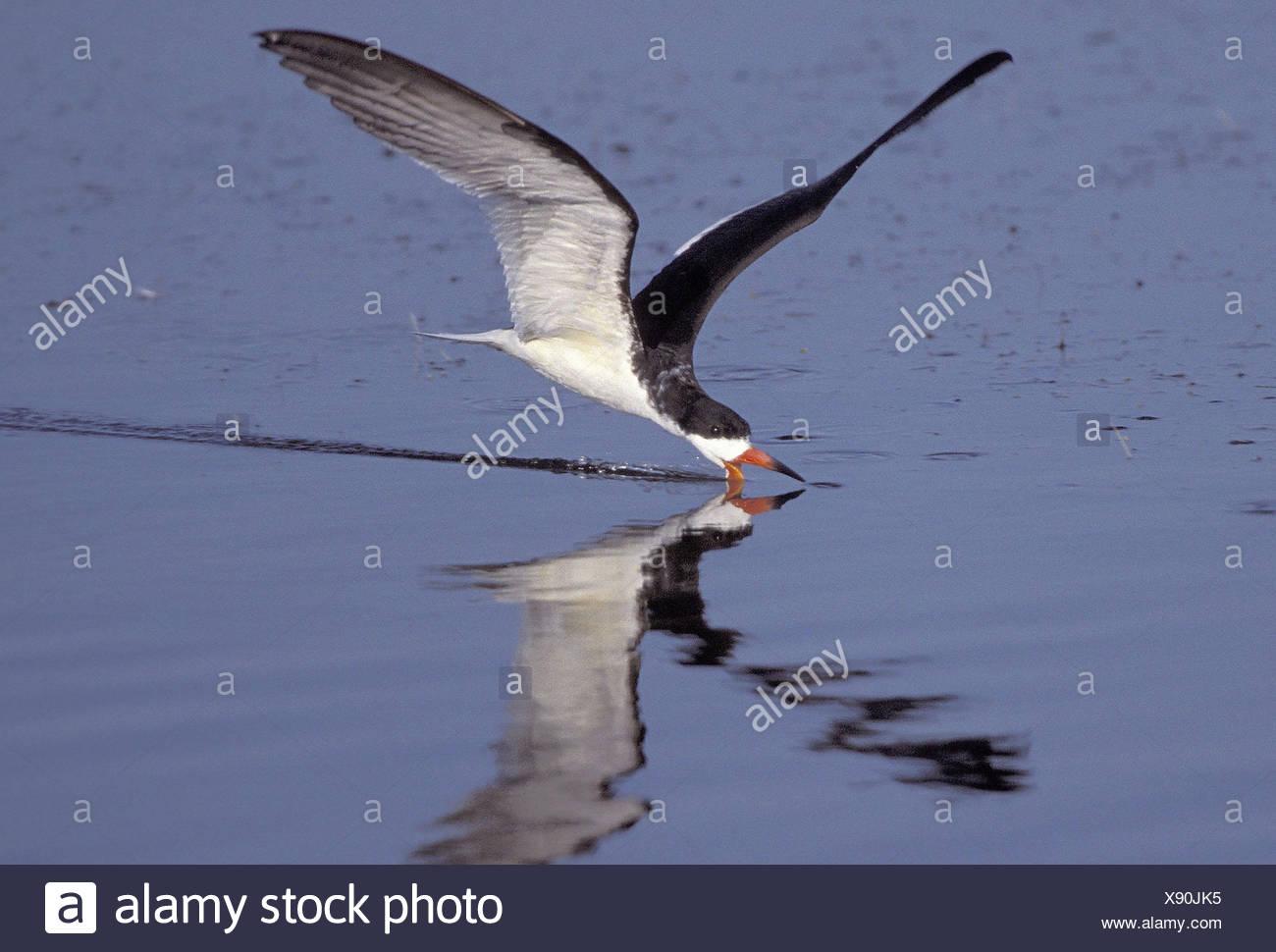Bird Seabird Skimmer Stock Photos & Bird Seabird Skimmer