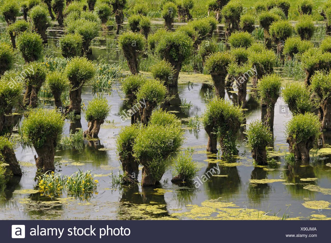 View over the Pollard Willows in the flood planes of estate Waardenburg en Neerijnen - Stock Image