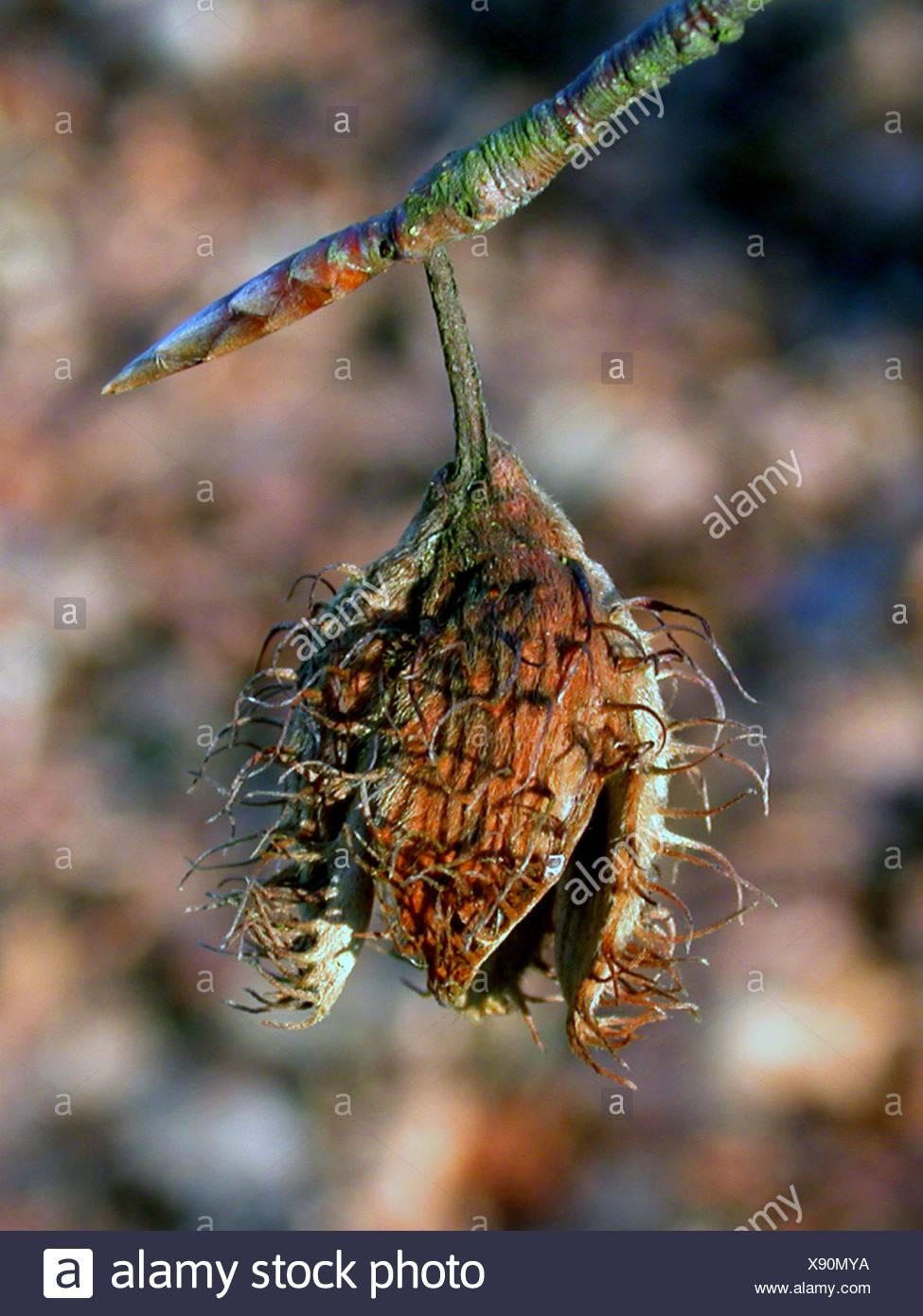 common beech (Fagus sylvatica), fruit - Stock Image