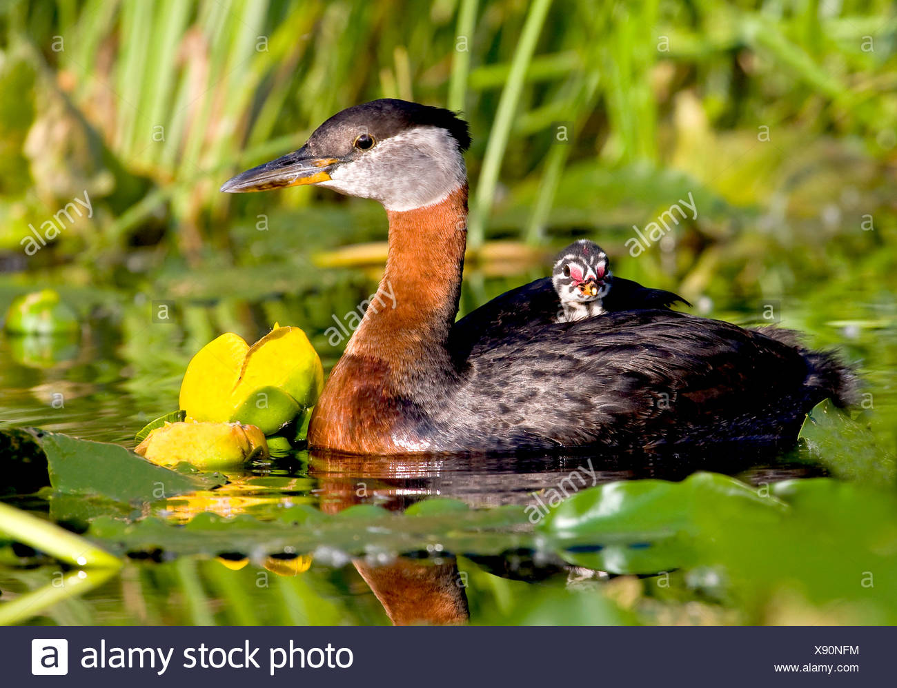 Alaska. Red-necked Grebe (Podiceps grisegena) with chick riding on back. - Stock Image