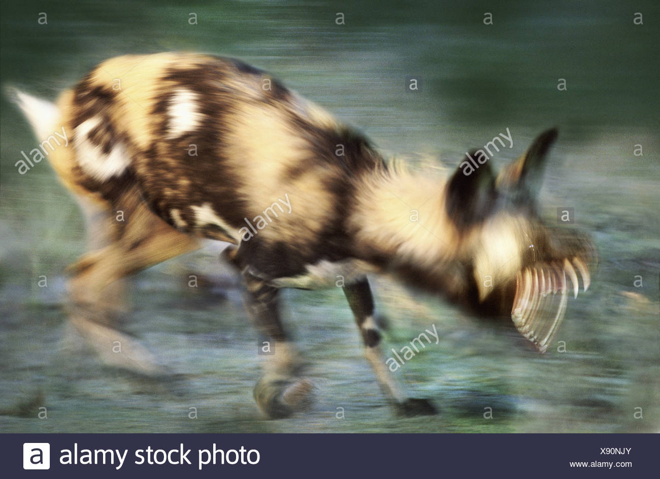 African wild dog snarling South Africa - Stock Image