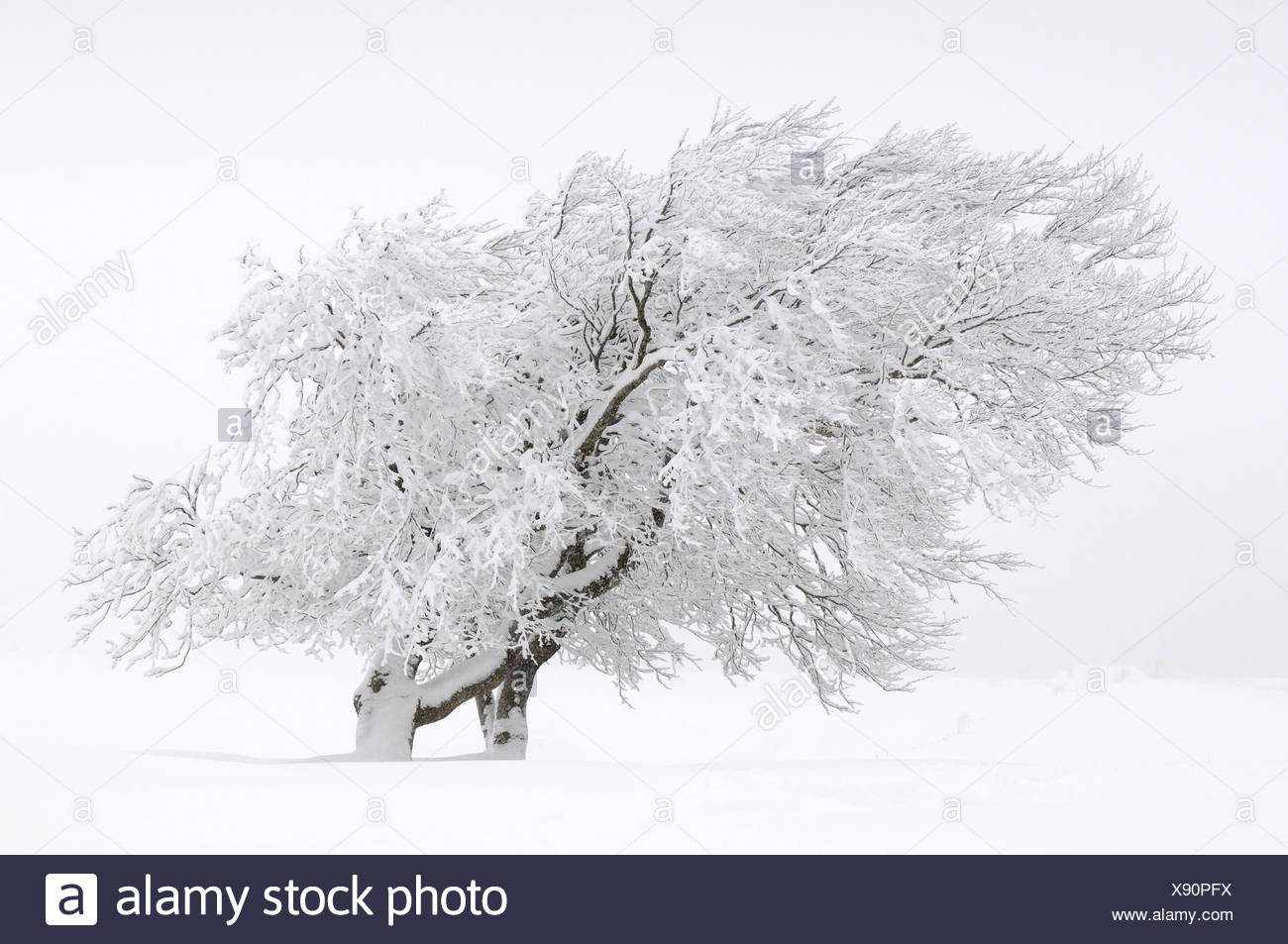 European Beech trees (Fagus sylvatica) deformed by the wind, Mt Schauinsland in the Black Forest, Baden-Wuerttemberg, Germany,  - Stock Image