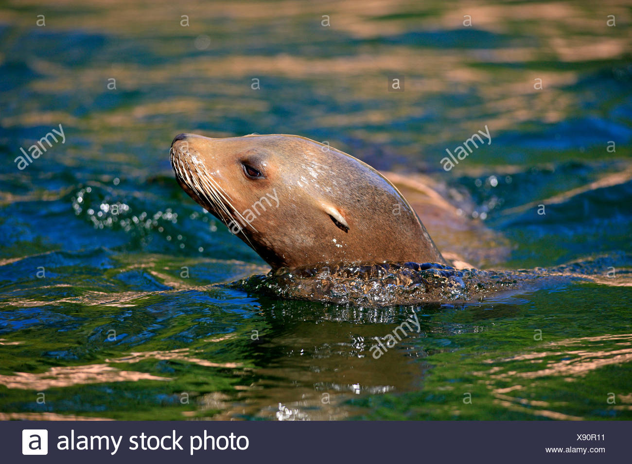 Californian Sea Lion, female / (Zalophus californianus) - Stock Image
