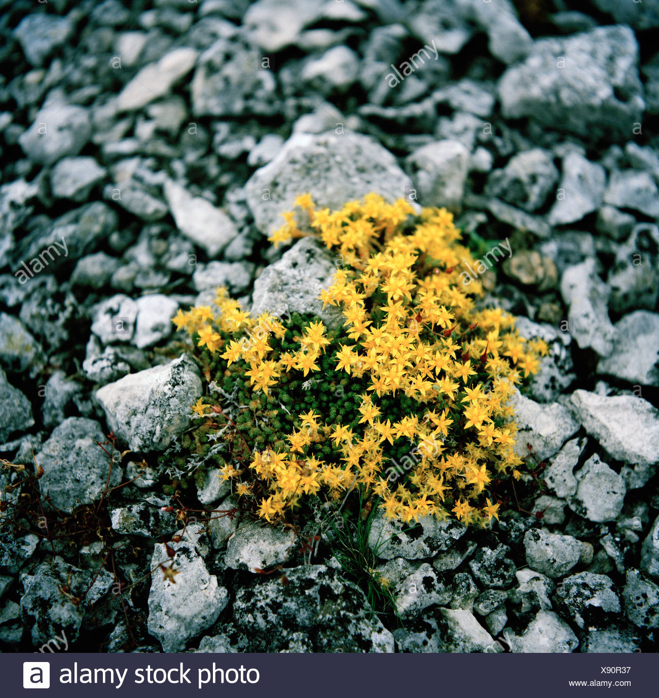 Yellow flowers among stones. - Stock Image