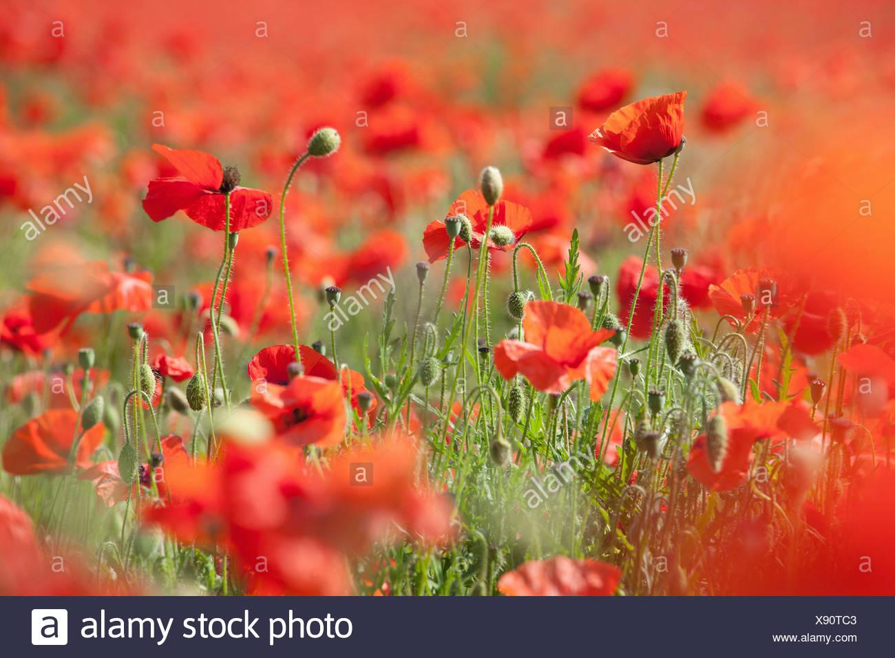 ENGLAND; NORFOLK; POPPY; FIELD; RED; FLOWER; POPPIES; FLOWERS; DETAIL - Stock Image