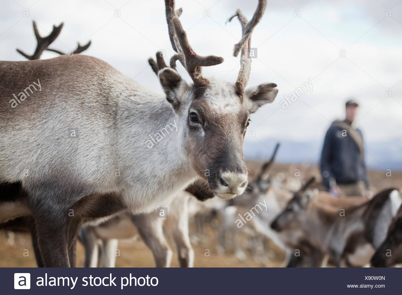 Sweden, Lapland, Levas, Reindeer (Rangifer tarandus) looking at camera Stock Photo