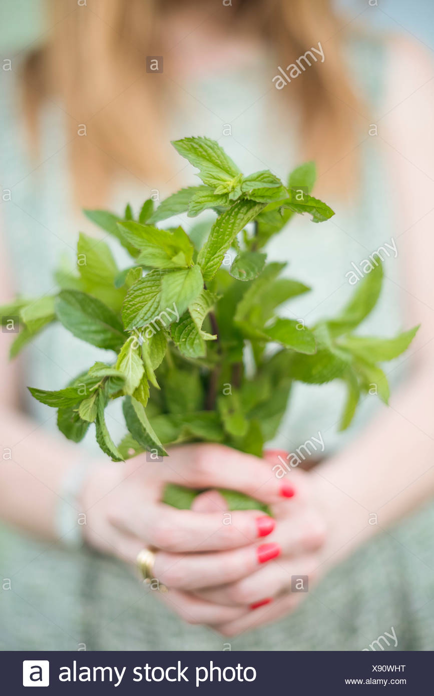Woman holding a bunch of freshly picked mint. - Stock Image