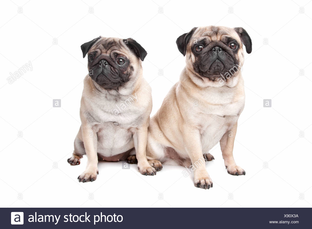 two pug dogs in front of a white background - Stock Image