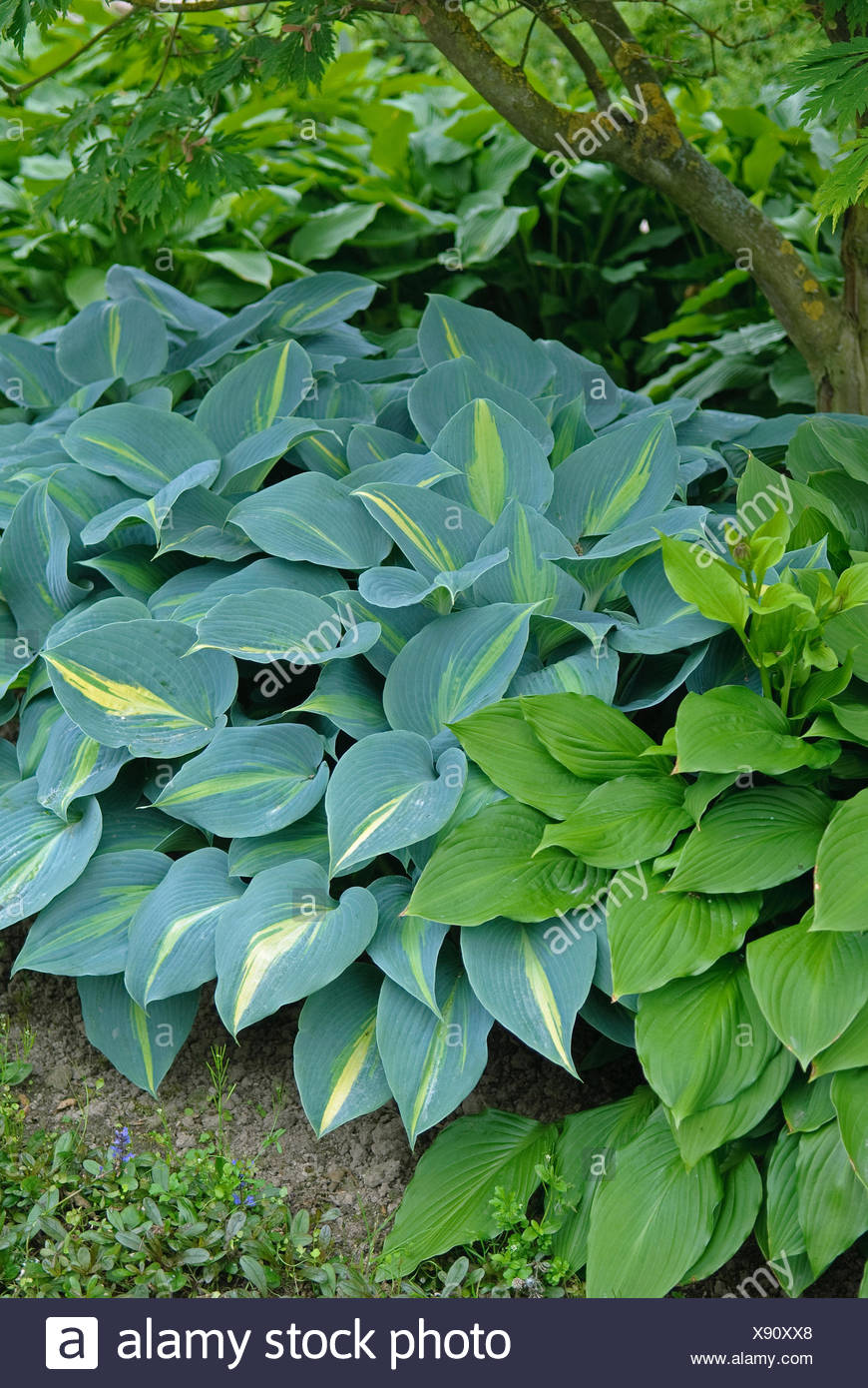 plantain lily (Hosta 'Touch of Class', Hosta Touch of Class), cultivar Touch of Class - Stock Image