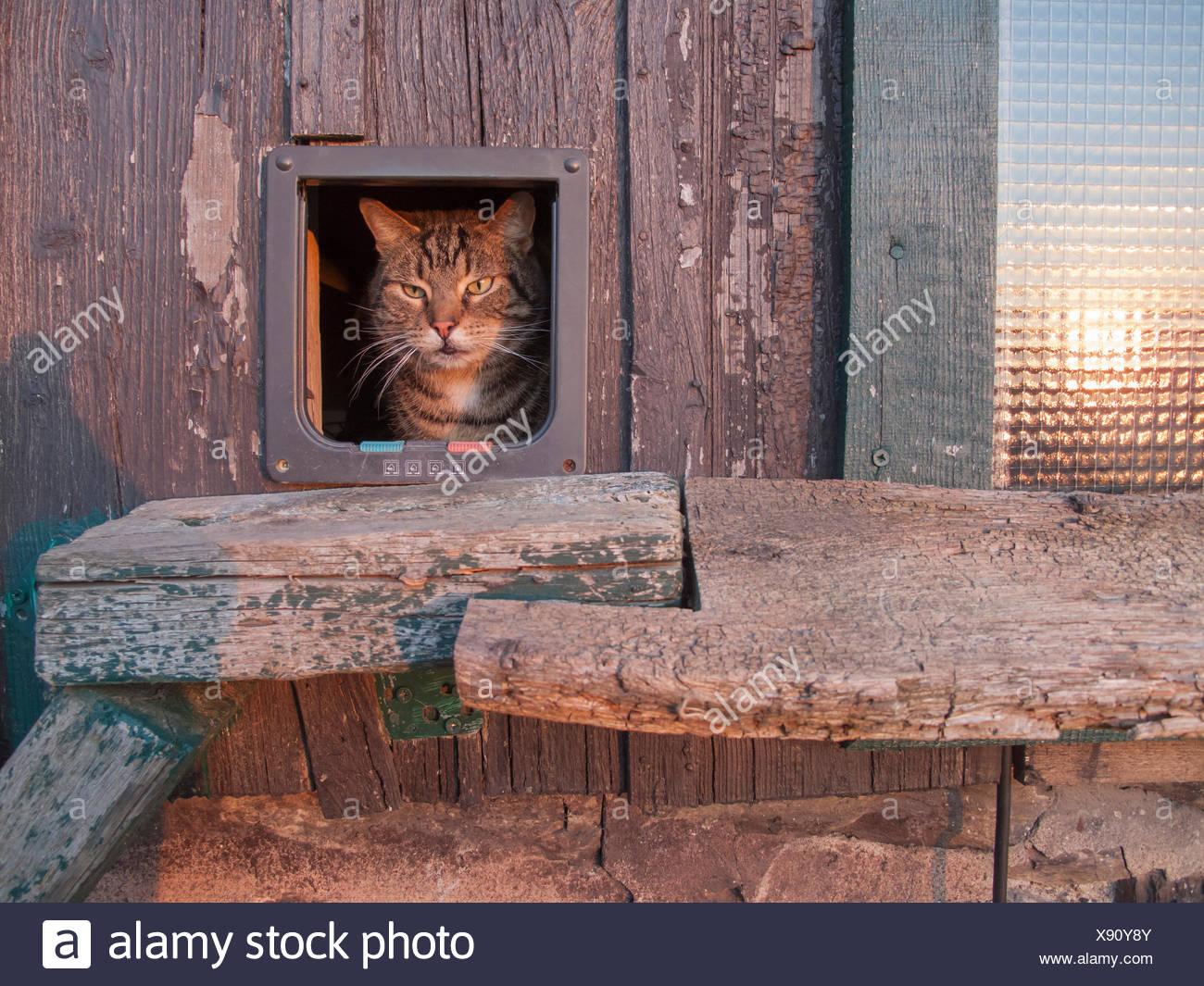 Hauskatze, Haus-Katze (Felis silvestris f. catus), schaut aus Katzentuer heraus, Deutschland | domestic cat, house cat (Felis si Stock Photo