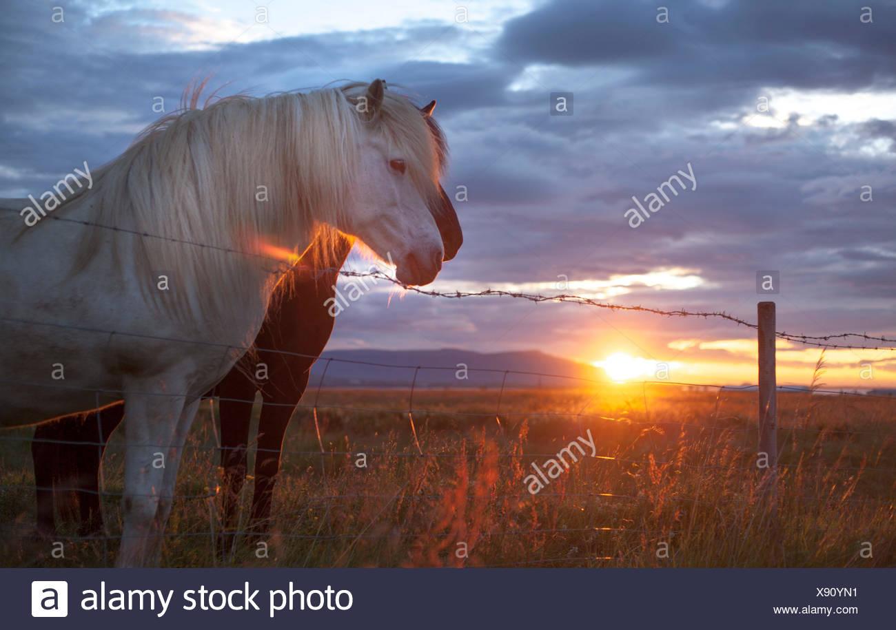 Iceland, Capital Region, Reykjavik, Horses in pasture - Stock Image
