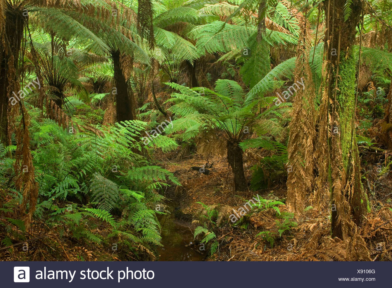 Temperate rainforest - brook flows through a gully with lots of treefern in a lush temperate rainforest , Australia, Victoria, Great Ocean Road, Great Otways National Park - Stock Image