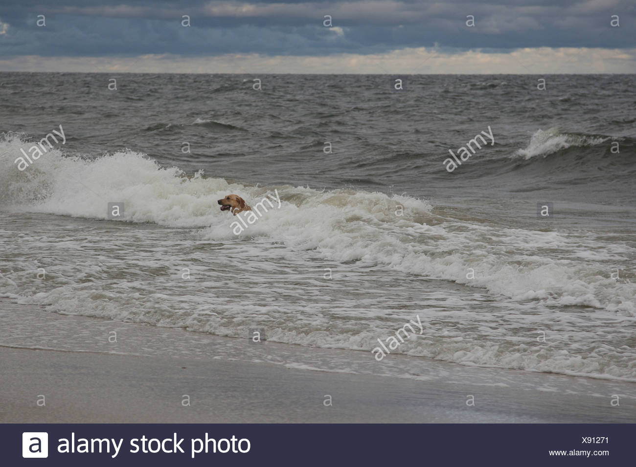 labrador retriever, canis lupus familiaris, zempin, usedom, ostsee, mecklenburg-vorpommern, germany - Stock Image