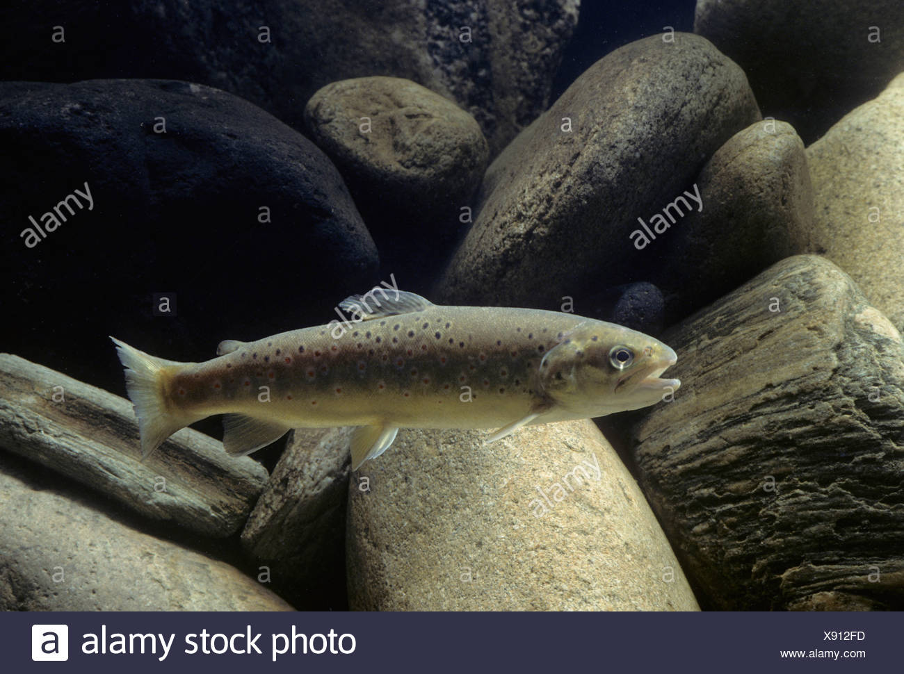 Brown trout (Salmo trutta fario) Stock Photo
