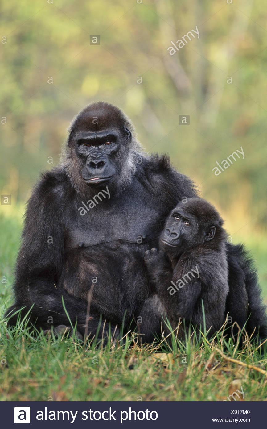 Atlanta Zoo Georgia USA Lowland gorillas Gorillgorilla Atlanta Zoo Georgia - Stock Image