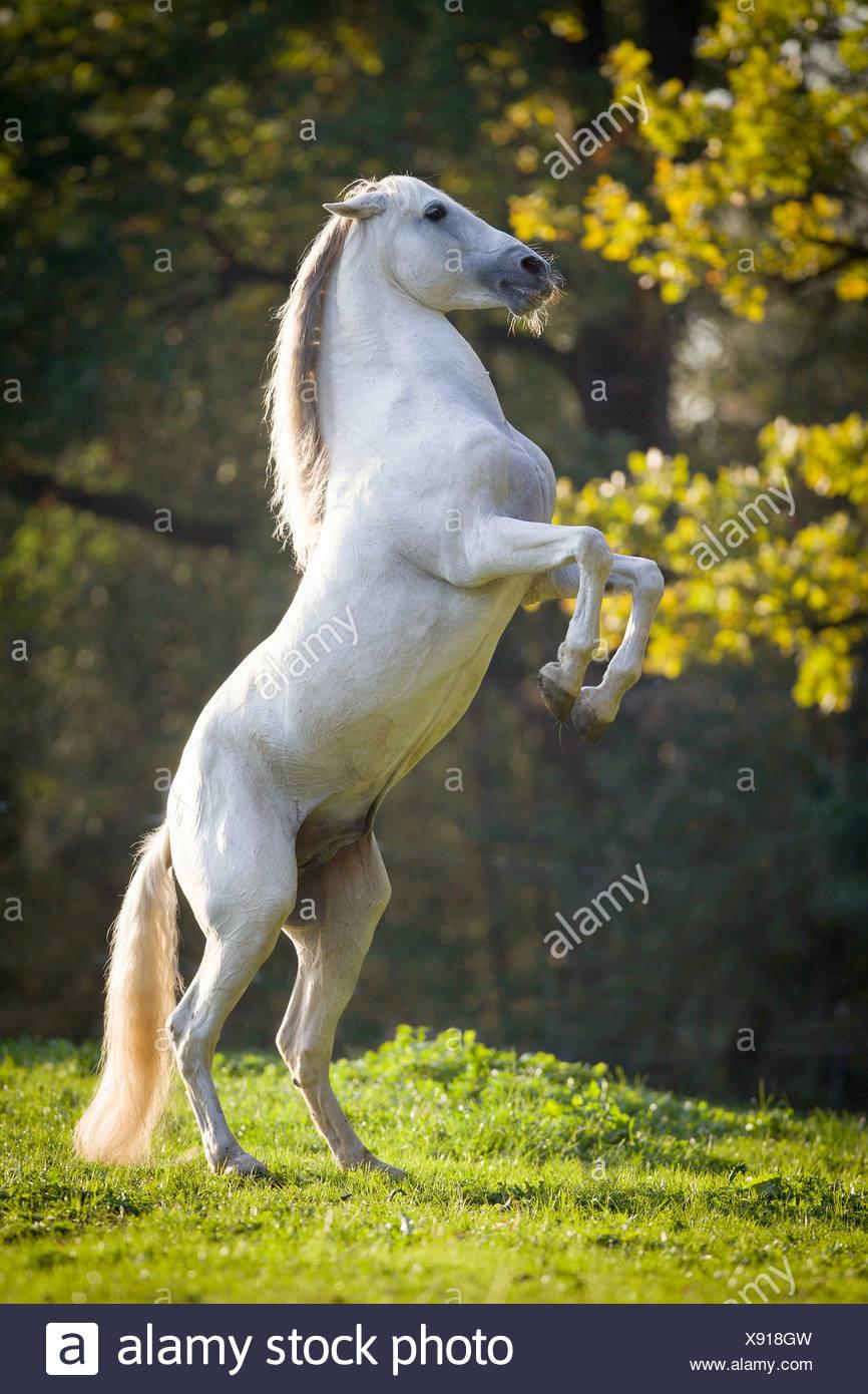 Pure Spanish Horse Horse Andalusian Equus ferus caballus Stock Photo