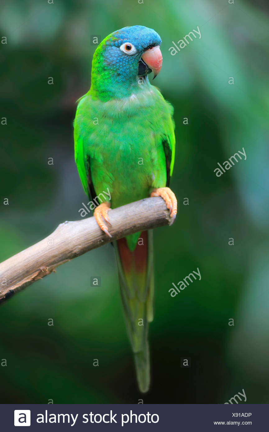 Sharp-tailed Parakeet, (Thectocercus acuticaudatus), adult on wait, captive, occurrence South America - Stock Image