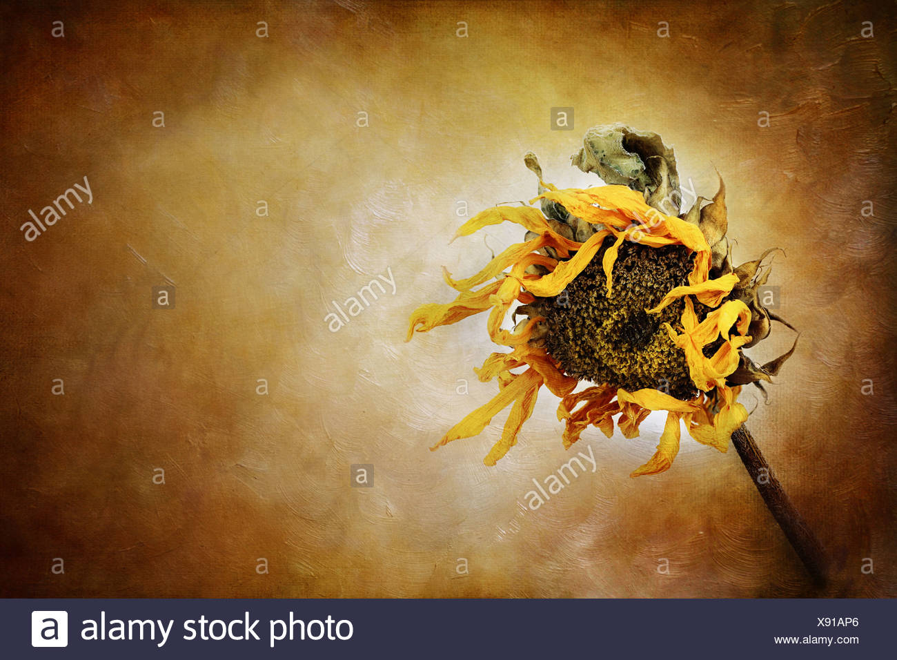 Dried sunflower with painterly effect. - Stock Image