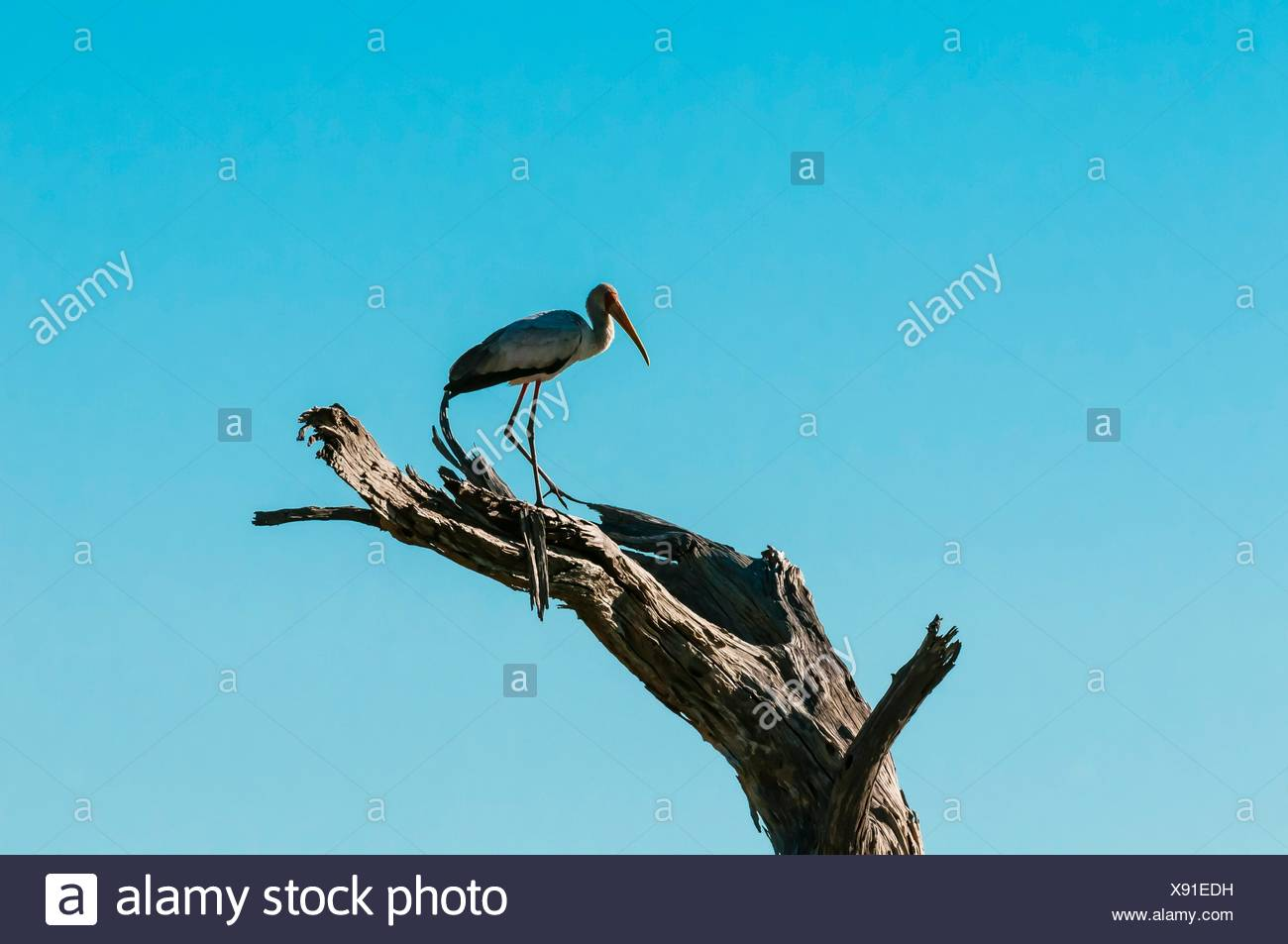 A Yellow Billed Stork standing on branch, Kwando Concession, Linyanti Marshes, Botswana. Kwando Concession, Linyanti Marshes, Stock Photo