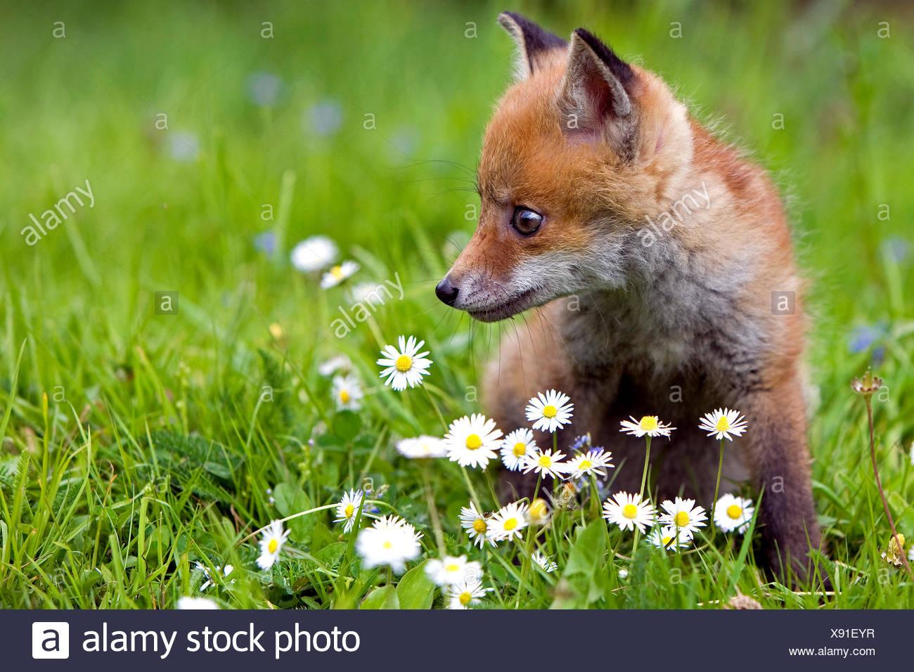 RED FOX vulpes vulpes, CUB WITH DAISIES, NORMANDY - Stock Image