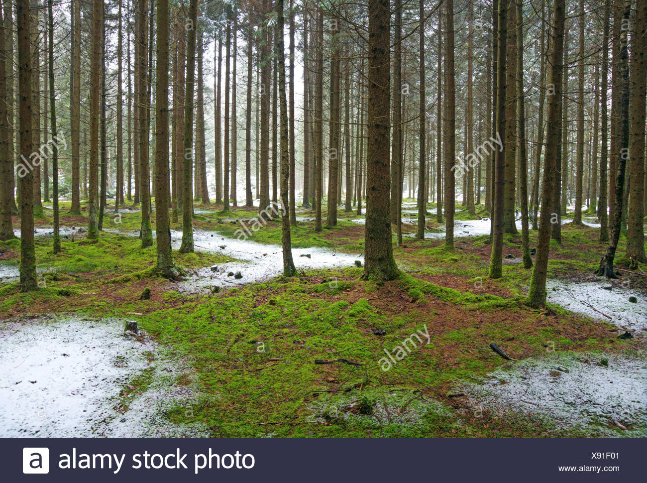 spruce (Picea spec.), view in a spruce forest with mossy forest ground and a little bit fresh snow, Germany, Bavaria, Oberbayern, Upper Bavaria Stock Photo