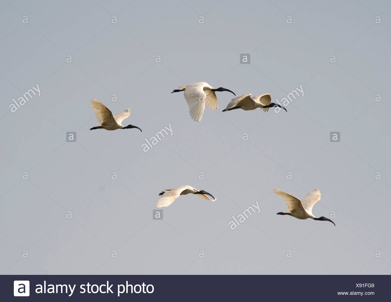Black Headed Ibis, In flight, Threskiornis melanocephalus, Keoladeo National Park or Keoladeo Ghana National Park formerly known as the Bharatpur Bird - Stock Image