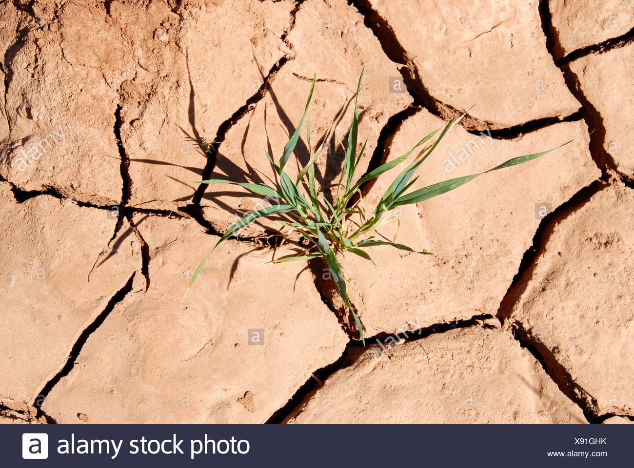 Green plant grows dry and torn open soil drought near Mhamid Morocco - Stock Image